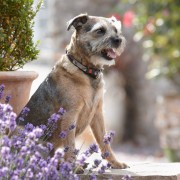 Gilbert, our border terrier